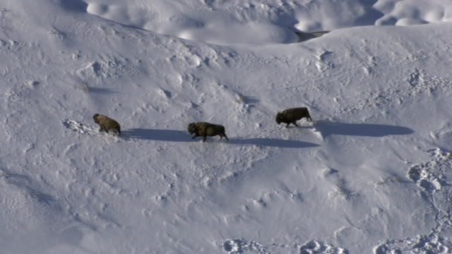 Aerial track over bison (Bison bison) running on snow, Yellowstone, USA