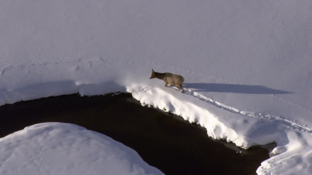 aerial track over elk (cervus canadensis) trudging in snow enters stream, yellowstone, usa - yellowstone nationalpark stock-videos und b-roll-filmmaterial