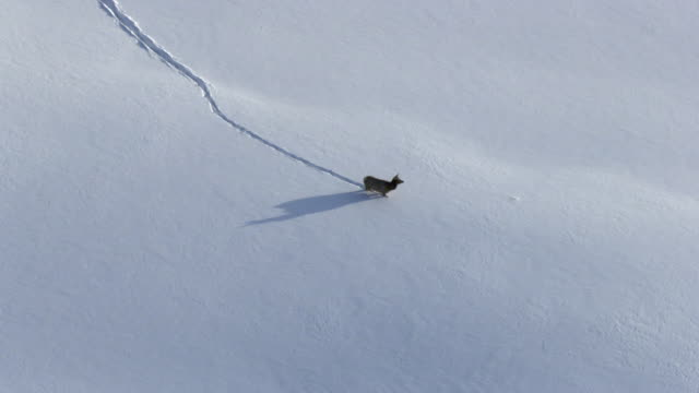 Aerial track over elk (Cervus canadensis) trudging in snow, Yellowstone, USA