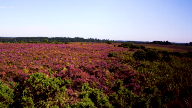 aerial track over gorse to reveal heather (calluna vulgaris) in flower, heathland, new forest - heather stock videos & royalty-free footage