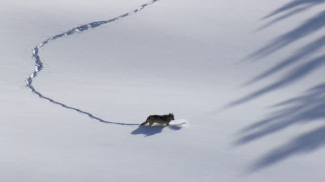 aerial track over grey wolf (canis lupus) crossing snowy ground, yellowstone, usa - yellowstone nationalpark stock-videos und b-roll-filmmaterial