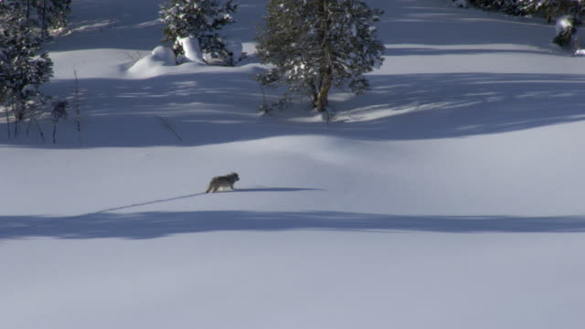aerial track over grey wolf (canis lupus) crossing snowy ground, yellowstone, usa - one animal stock videos & royalty-free footage