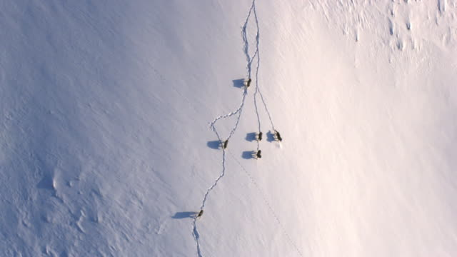 aerial track over grey wolves (canis lupus) crossing snowy hillside, yellowstone, usa - yellowstone nationalpark stock-videos und b-roll-filmmaterial
