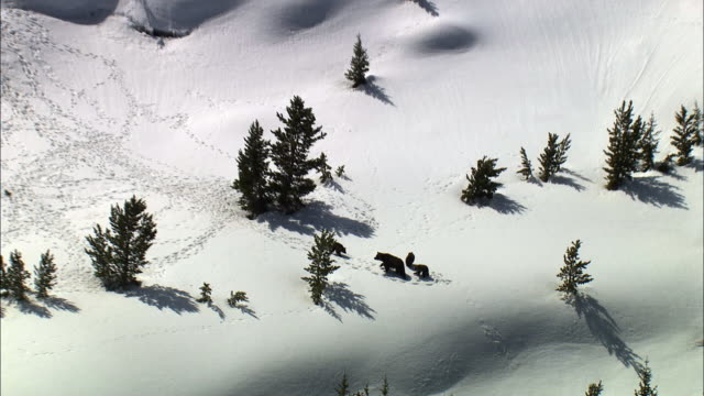 Aerial track over grizzly bear (Ursus arctos) and cubs in snowy landscape, Yellowstone, USA