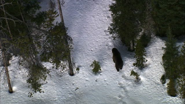 Aerial track over grizzly bear (Ursus arctos) in snowy forest, Yellowstone, USA