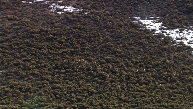 Aerial track over running pronghorn (Antilocapra americana) herd, Yellowstone, USA