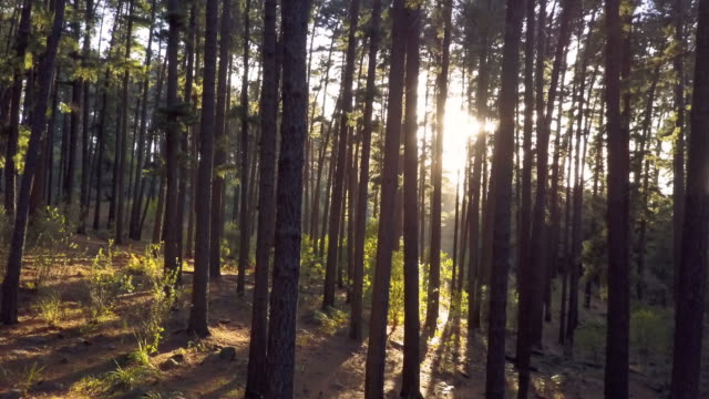 Aerial track through forest of trees in early morning