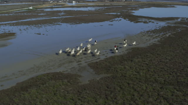 slomo aerial track with group of camargue horses and herders crossing marsh - camargue stock-videos und b-roll-filmmaterial