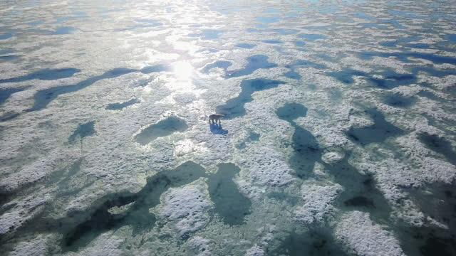 aerial ws track with polar bear walking over slushy sea ice - europe stock videos & royalty-free footage