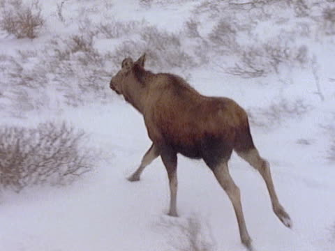 Aerial tracking a cow moose running over snowcovered tundra