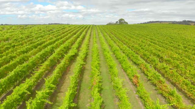 aerial tracking backwards through vineyard, barossa valley - south australia bildbanksvideor och videomaterial från bakom kulisserna
