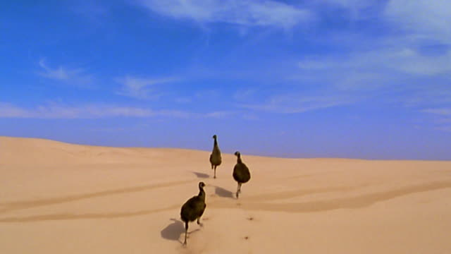 Aerial tracking shot 3 emus running up sand dunes
