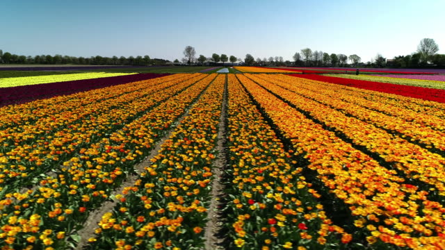 aerial tracking shot across a field full of rows of tulips seen from a low angle perspective, netherlands - contrasts stock videos & royalty-free footage