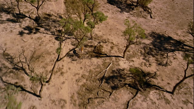 Aerial tracking shot over kangaroo running in desert
