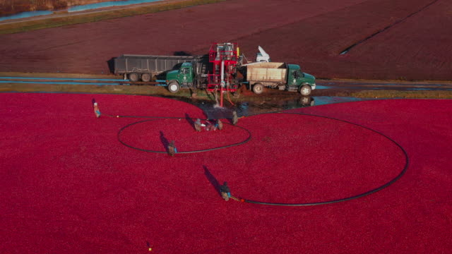 aerial tracking shot showing people working in a cranberry bog, massachusetts, united states of america - agricultural machinery stock videos & royalty-free footage