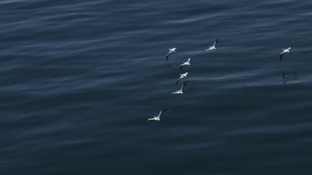 ha aerial tracking with group of cape gannets flying low over very calm sea - sea water bird stock videos & royalty-free footage