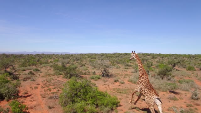 aerial travel drone view of giraffes in swartberg, south africa. - giraffe stock videos and b-roll footage
