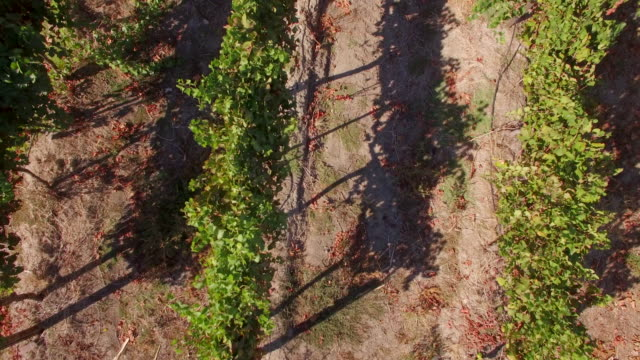 Aerial travel drone view of grape vineyard farms in South Africa.