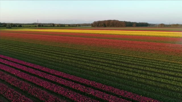 aerial tulip field, norfolk - landscaped stock videos & royalty-free footage