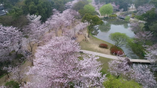 vídeos de stock, filmes e b-roll de aerial turtle head isle in taihu lake in wuxi city scenic spot of the cherry blossom valley - árvore de folha caduca