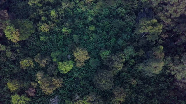 aerial vertical/ pristine african tropical cloud forest with teak, ebony, mahogany trees/ kakamega , kenya - laubbaum stock-videos und b-roll-filmmaterial