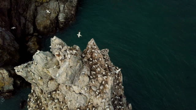 aerial vertical view of northern gannet nesting colony - northern gannet stock videos & royalty-free footage