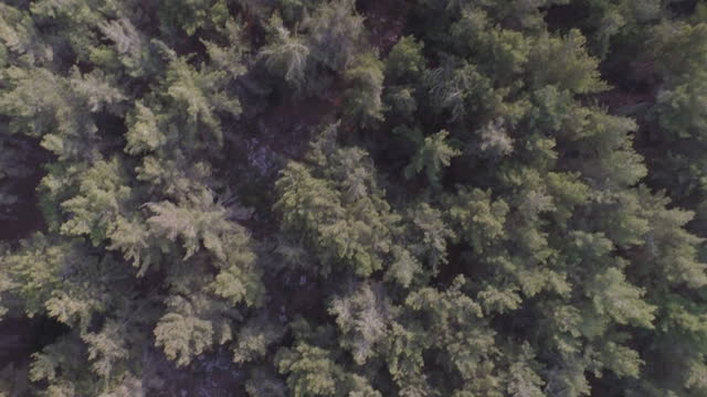 Aerial vertical view of pine forest, Jerusalem Mountains