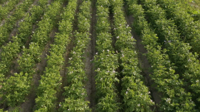 aerial vew of a field with flowering potato - surface level stock videos & royalty-free footage