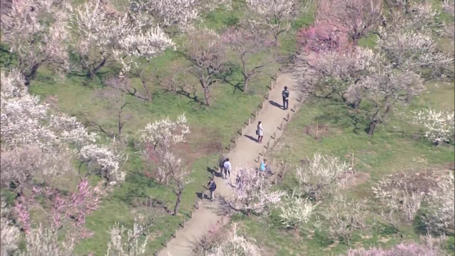 aerial video footage taken from above ibaraki prefecture capital of mito on march 14 shows strollers admitting thousands of plum trees blooming at... - plum stock videos & royalty-free footage