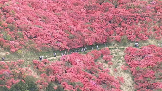 "aerial video footage taken on may 15 shows hikers walking among thousands of ""tsutsuji"" azaleas in bloom on the slopes of 959metertall mount... - 繁栄点の映像素材/bロール"