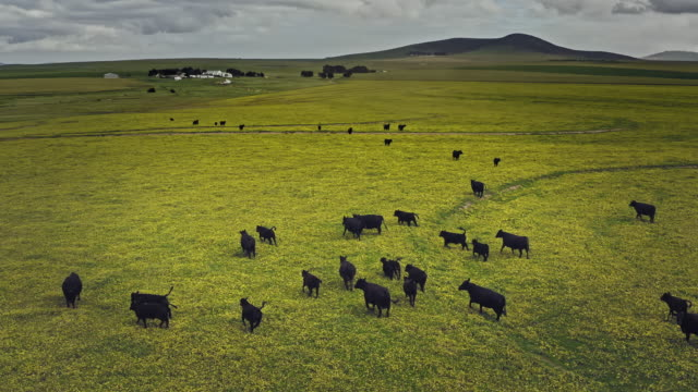 aerial video of cows on a prairie in cape town, south africa - cattle stock videos & royalty-free footage