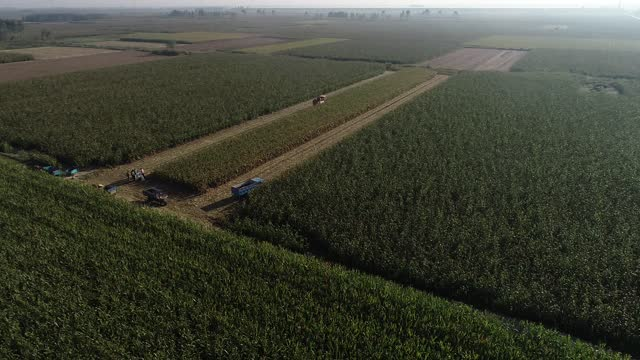 aerial video of farmers harvesting corn, sorghum, rice and other autumn crops in zouping, shandong province. - sorghum stock videos & royalty-free footage