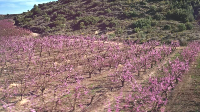 aerial video of peach trees at blossom - fruit tree stock videos & royalty-free footage