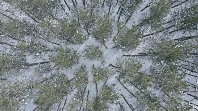 4k aerial video view of pine tree forest in winter after snowstorm, quebec, canada - quebec stock videos & royalty-free footage