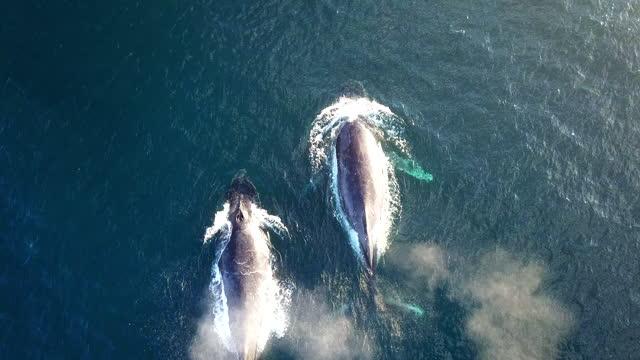 aerial video whale 4k video - cetacea stock videos & royalty-free footage