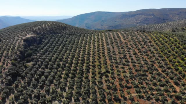 aerial videw of olive grove in country of jaen, andalucia, spain - silvestre stock-videos und b-roll-filmmaterial