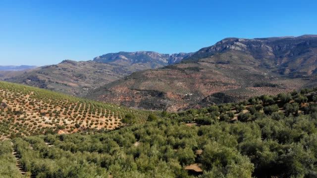 aerial videw of olive grove in country of jaen, andalucia, spain - silvestre stock videos & royalty-free footage