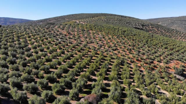 aerial videw of olive grove in country of jaen, andalucia, spain - オリーブ点の映像素材/bロール