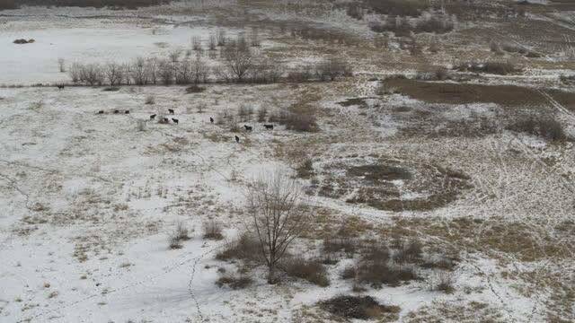 stockvideo's en b-roll-footage met aerial view approaching distant cattle in field in snow / lehi, utah, united states - lehi