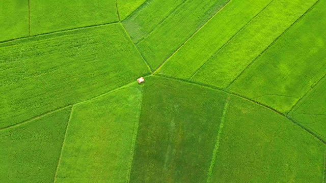 aerial view beautiful of green rice paddy in countryside, thailand - rice cereal plant stock videos and b-roll footage