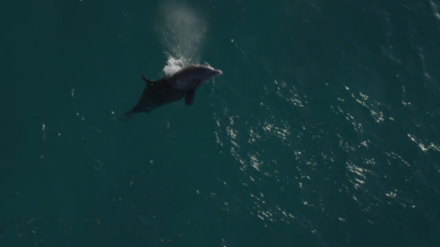 aerial view bottlenose dolphin at surface, bahamas - bottle nosed dolphin stock videos & royalty-free footage