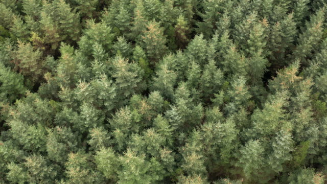 aerial view captured by a drone of pine forest in a rural part of dumfries and galloway during the winter. - johnfscott stock videos & royalty-free footage
