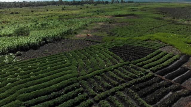 vídeos y material grabado en eventos de stock de aerial view cultivated land & farm animals in haiti - hispaniola