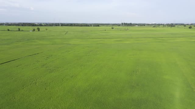 aerial view drone shot on a rice field. paddy rice on 4k resolution b-roll - rice stock videos & royalty-free footage