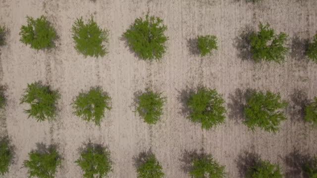 stockvideo's en b-roll-footage met aerial view - flight above of fruit tree plantations  in morning light, fontanars area, valencian community, spain - fruitboom