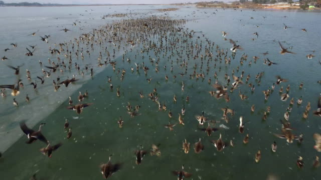 aerial view flock of baikal teals at frozen juamho lake in jeju - anatra uccello acquatico video stock e b–roll