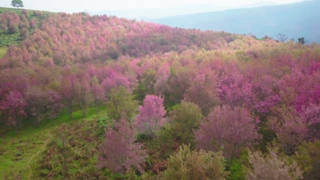 aerial view flying by drone of cherry blossoms on mountain - blossom stock videos & royalty-free footage