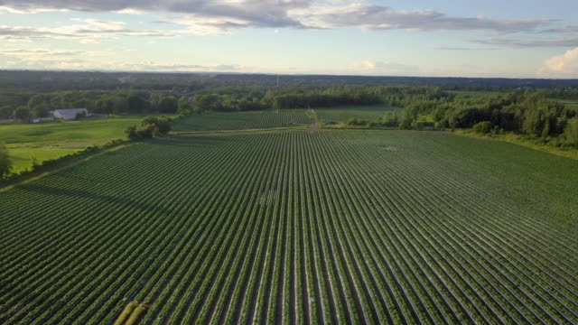 Aerial View Flying Over Rows of Young Green Plants Farm Field
