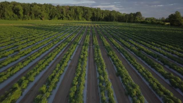 vídeos y material grabado en eventos de stock de vista aérea volando sobre filas de jóvenes verdes plantas campo de granja - pimientos