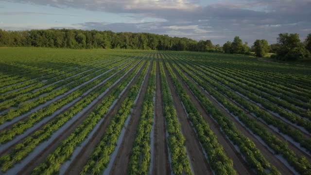vídeos de stock e filmes b-roll de aerial view flying over rows of young green plants farm field - pimentão